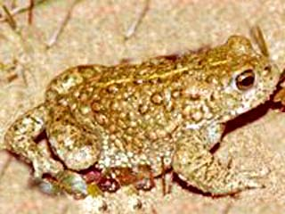 The Natterjack Toad (endangered species). Please do not touch this toad without a licence.